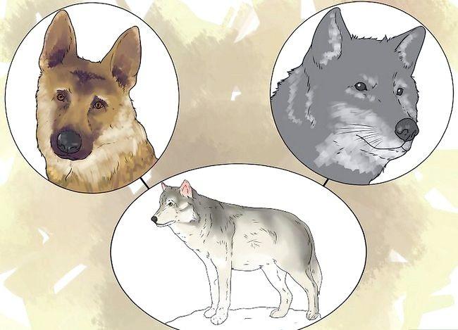 एक पालतू जानवर के रूप में कैसे एक भेड़िया है